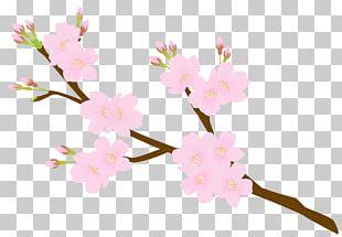 Cherry Blossom Flower Petal Floral Design PNG