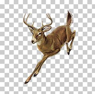 Roe Deer Red Deer Elk PNG