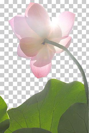 Nelumbo Nucifera Water Lily Flower Pink Lilium PNG
