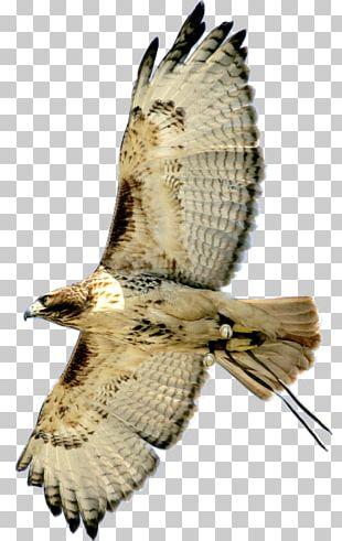 Hawk Bird Buzzard Eagle Owl PNG