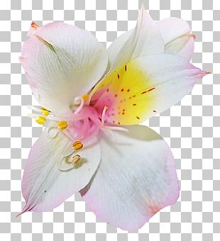 Rhododendron Flower Azalea PNG