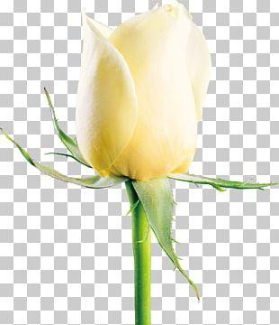 Garden Roses Beach Rose Flower Icon PNG
