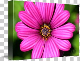 Garden Cosmos Close-up Chrysanthemum Wildflower PNG