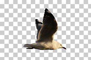 Water Bird Goose Gulls PNG