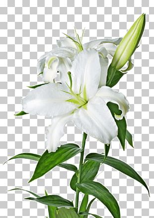 Easter Lily Lilium Candidum Arum-lily PNG