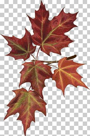 Maple Leaf Autumn Leaves Botany Botanical Illustration PNG