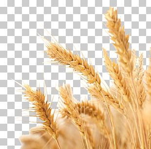 Wheat Harvest Crop PNG