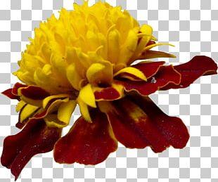 Chrysanthemum Cut Flowers PNG