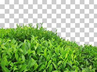 Green Tea Oolong Longjing Tea High-mountain Tea PNG