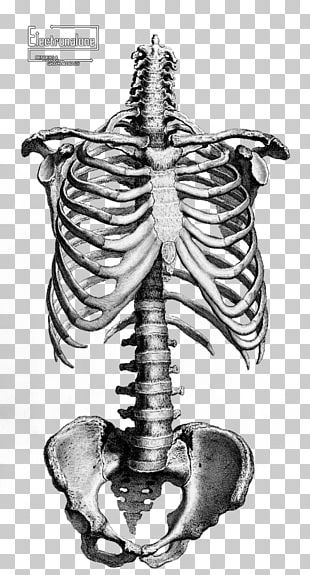 Human Skeleton Anatomy Drawing Bone PNG
