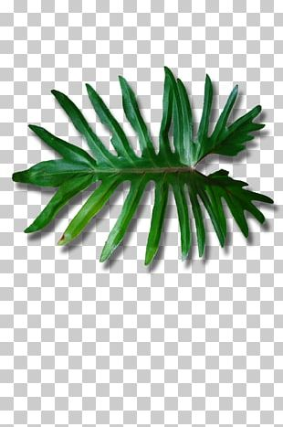 Leaf Plant Stem 6 May Arecaceae PNG