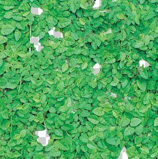 Leaf Herb Shrub Groundcover Parthenocissus Tricuspidata PNG