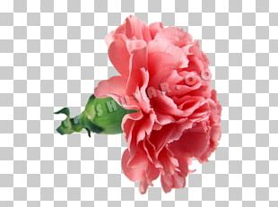 Carnation Flower Bouquet Mother's Day Rose PNG