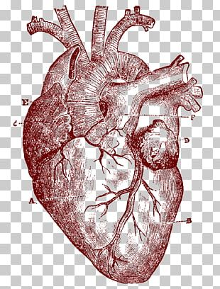 Heart Human Anatomy Human Body PNG