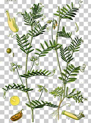 Lentil Dal Legume Plant Botany PNG
