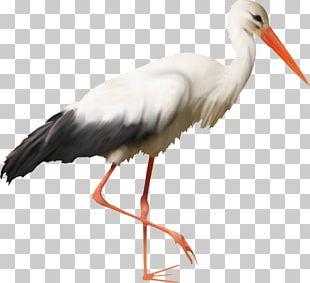 White Stork Bird Beak Feather Wader PNG
