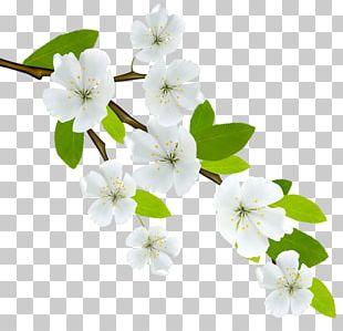 Branch Flowering Dogwood PNG