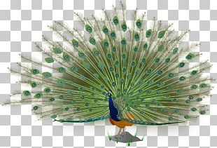 Asiatic Peafowl Bird Green Peafowl PNG