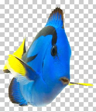Coral Reef Fish Palette Surgeonfish Saltwater Fish PNG