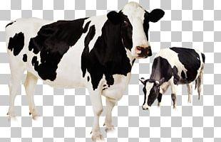Holstein Friesian Cattle Highland Cattle Murrah Buffalo Beef Cattle Livestock PNG