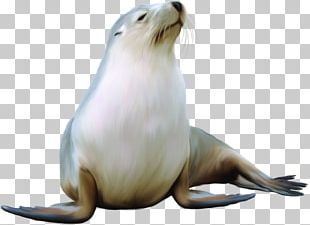 Earless Seal Harbor Seal Sea Lion Walrus PNG