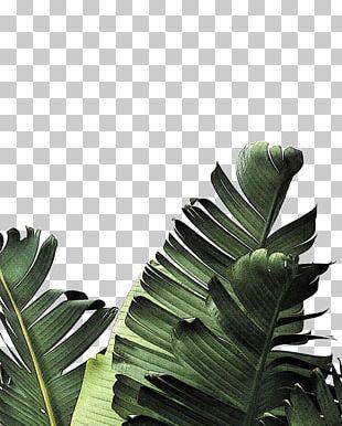 Banana Leaf Frond Palm-leaf Manuscript PNG