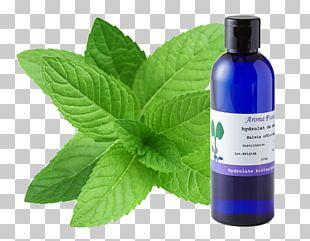 Peppermint Tea Mentha Spicata Water Mint Maghrebi Mint Tea PNG