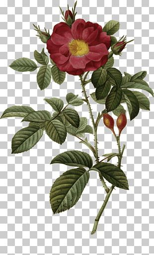 The Most Beautiful Flowers Redoute Roses Choix Des Plus Belles Fleurs Cabbage Rose Botanical Illustration PNG