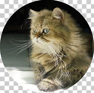 Persian Cat Asian Semi-longhair Siberian Cat American Bobtail Kitten PNG