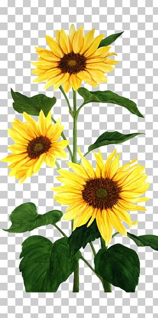 Common Sunflower Watercolor Painting PNG