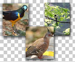 Beak Galliformes Fauna Wildlife Cuckoos PNG