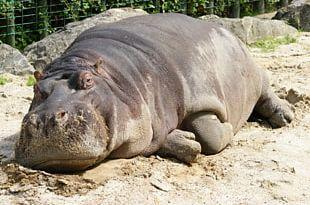 Hippopotamus Hippo: River Horse Crocodile Rhinoceros Desktop PNG