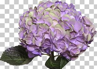 Hydrangea Purple Flowers Gallery Pink Red PNG