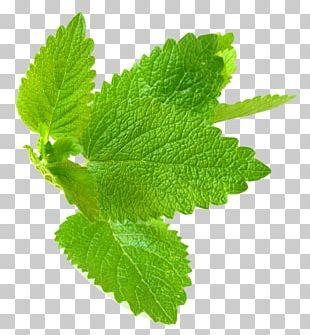 Lemon Balm Peppermint Leaf Herb PNG
