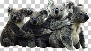 The Koala Book Australia Bear Giant Panda PNG