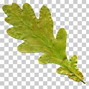 Oak Leaf Cluster English Oak Tree PNG
