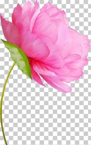 Flower Peony Watercolor Painting Floral Design PNG