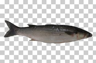 Milkfish Mullet Oily Fish Salmon PNG