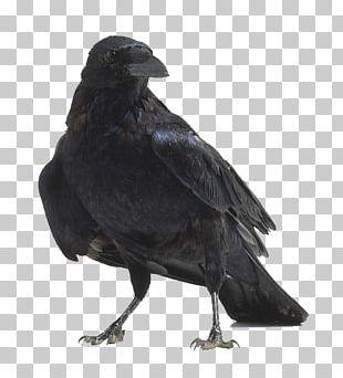 American Crow Bird Anatomy Raven PNG