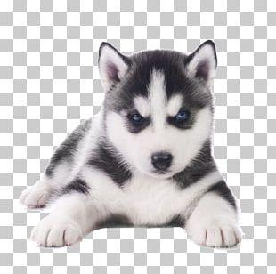 Siberian Husky French Bulldog Pug Puppy PNG