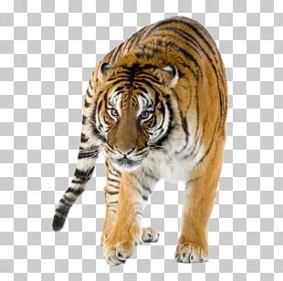 Lion Siberian Tiger Bengal Tiger Felidae Project Tiger PNG