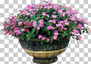 Impatiens Balsamina Annual Plant Annual Flowering Plants PNG