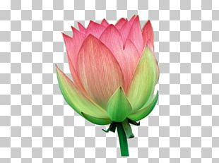 Water Lily Flower PNG