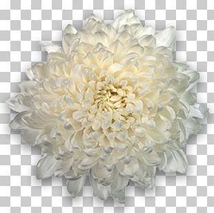 Chrysanthemum Cut Flowers Transvaal Daisy Plant PNG