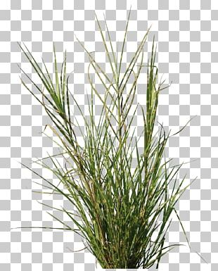 Plant Bamboo Lawn Texture Mapping Vetiver PNG