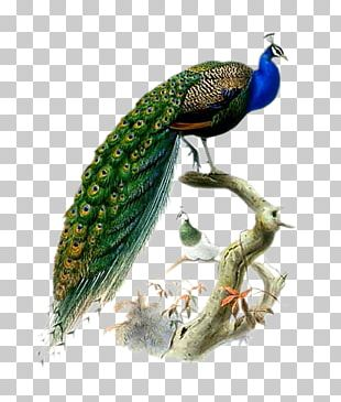 Phasianidae Bird Asiatic Peafowl Feather PNG