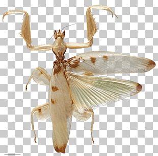 Orchid Mantis Invertebrate Evolution Orchids PNG