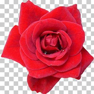 Garden Roses Flower Blue Rose Red PNG