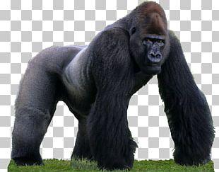 Western Gorilla Primate Common Chimpanzee Monkey Animal PNG