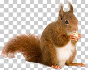 European Rabbit Deer Paper Red Squirrel Wall Decal PNG